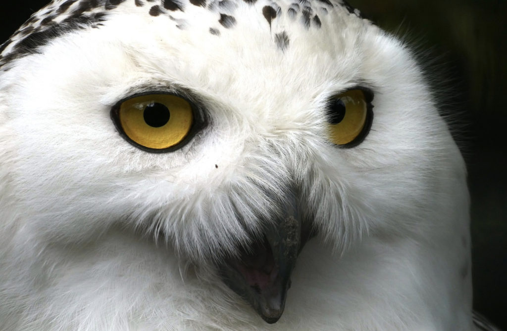 what is the meaning of a white owl?