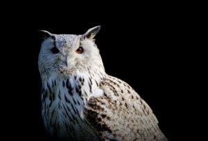 white owl at night